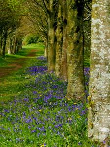 Bluebells at Castleward, Co Down