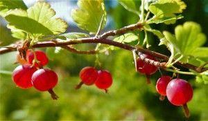 gooseberries (1)